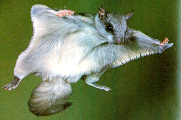 High Resolution Wallpaper | Flying Squirrel 600x400 px