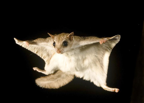 Images of Flying Squirrel | 500x359