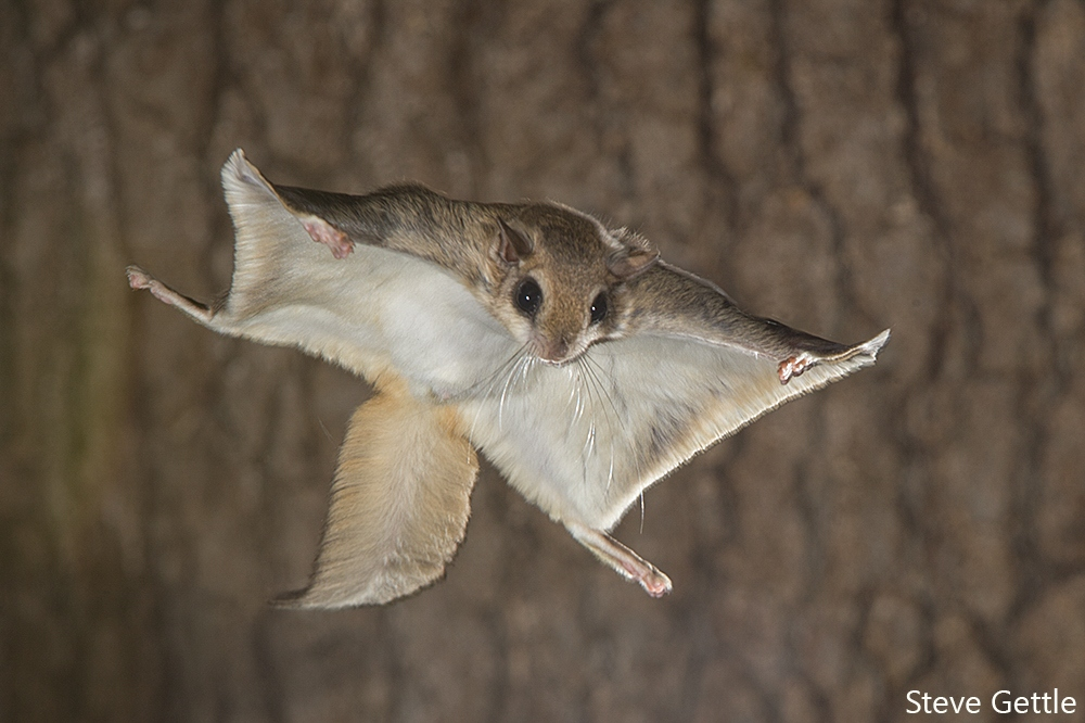 High Resolution Wallpaper | Flying Squirrel 1000x666 px