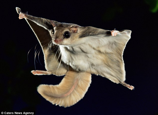 634x462 > Flying Squirrel Wallpapers