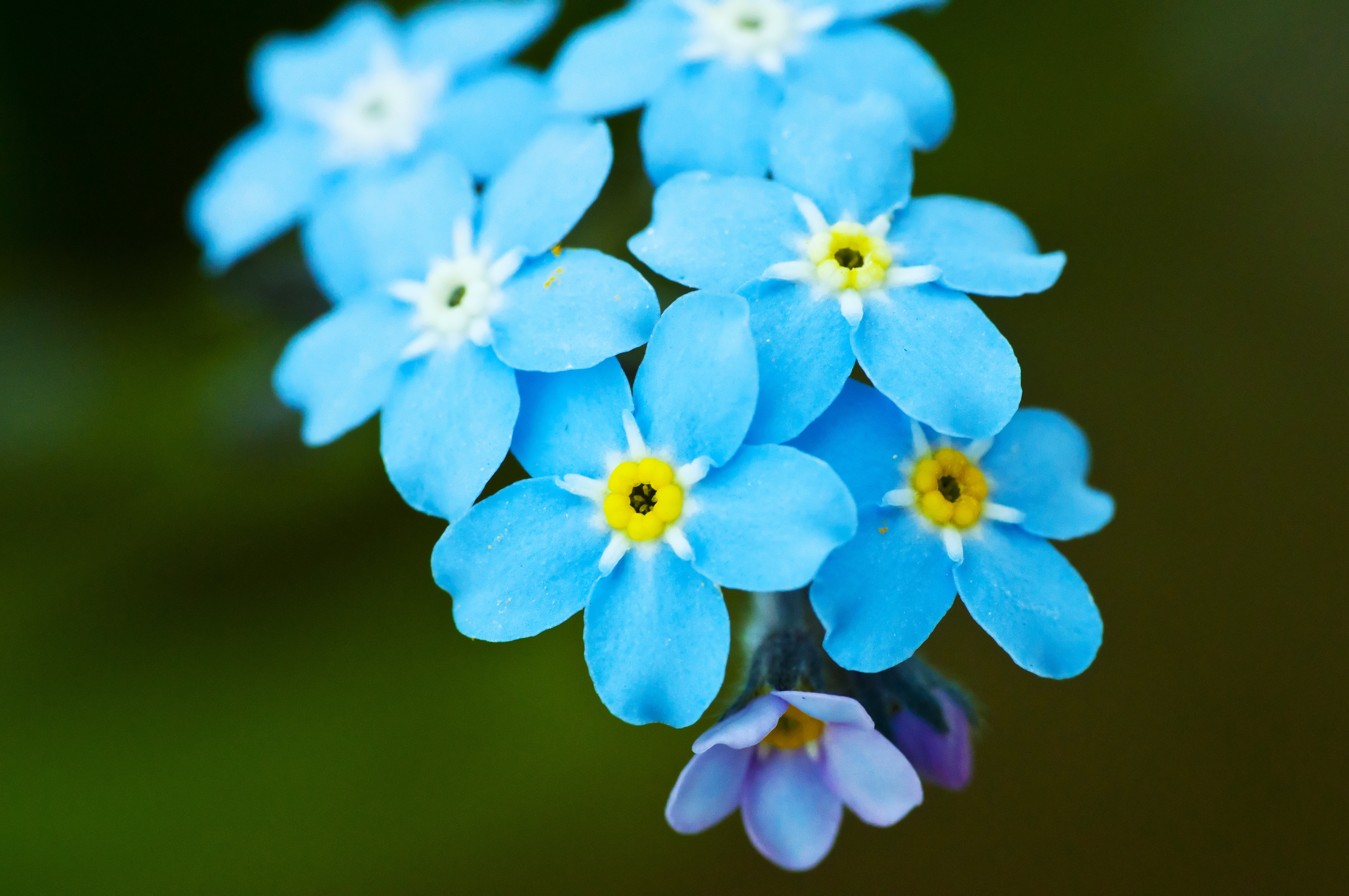4288x2848 > Forget-Me-Not Wallpapers