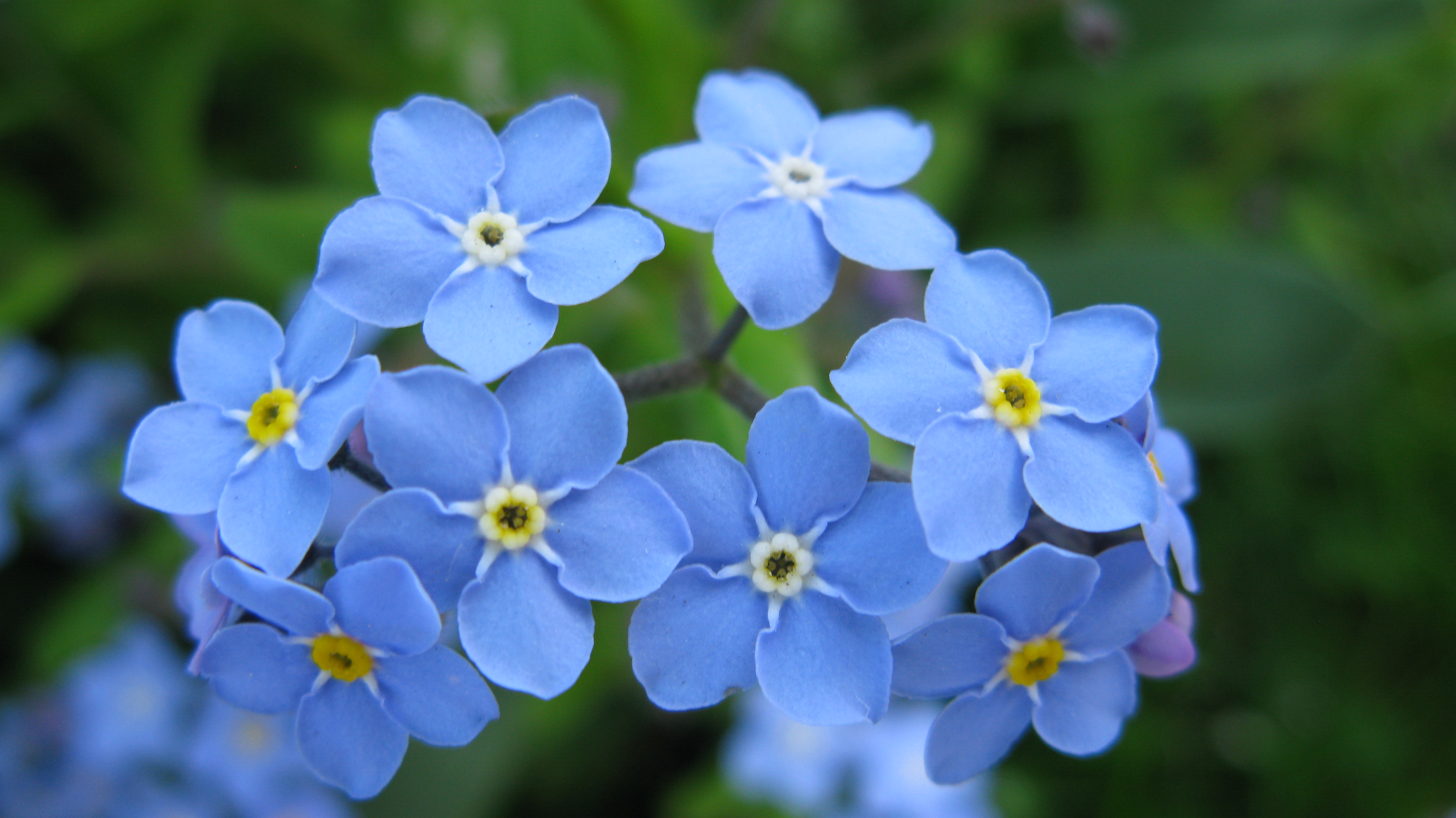 Nice wallpapers Forget-Me-Not 4000x2248px