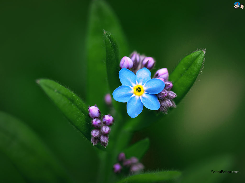 Forget-Me-Not High Quality Background on Wallpapers Vista