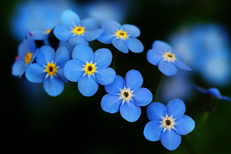 HD Quality Wallpaper | Collection: Earth, 800x535 Forget-Me-Not
