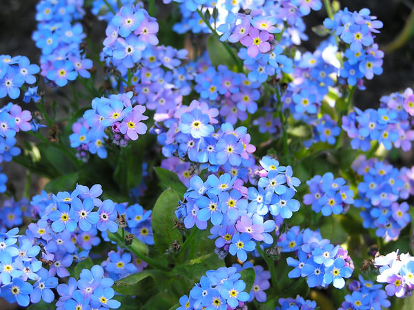 Forget-Me-Not Backgrounds, Compatible - PC, Mobile, Gadgets| 600x450 px