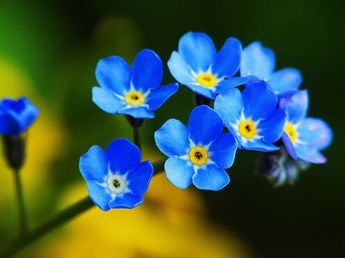 Nice wallpapers Forget-Me-Not 500x375px