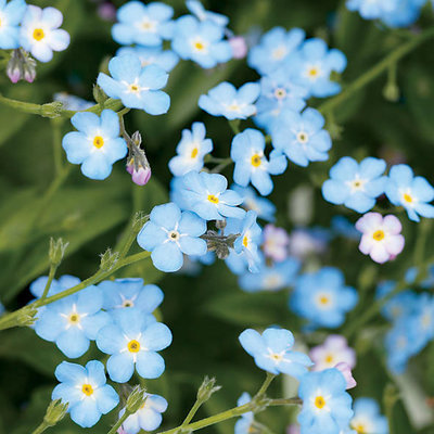 Amazing Forget-Me-Not Pictures & Backgrounds