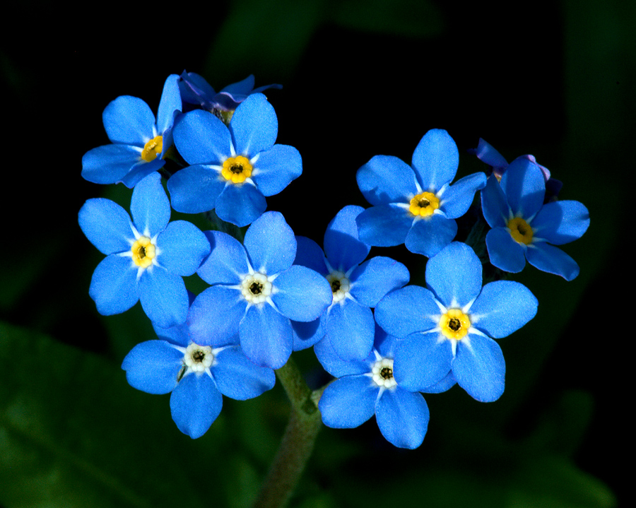 High Resolution Wallpaper | Forget-Me-Not 900x719 px