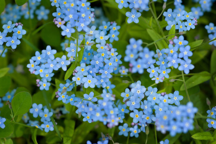 Forget-Me-Not Backgrounds on Wallpapers Vista
