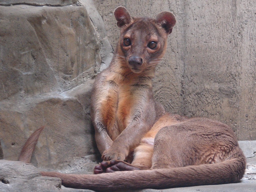Amazing Fossa Pictures & Backgrounds