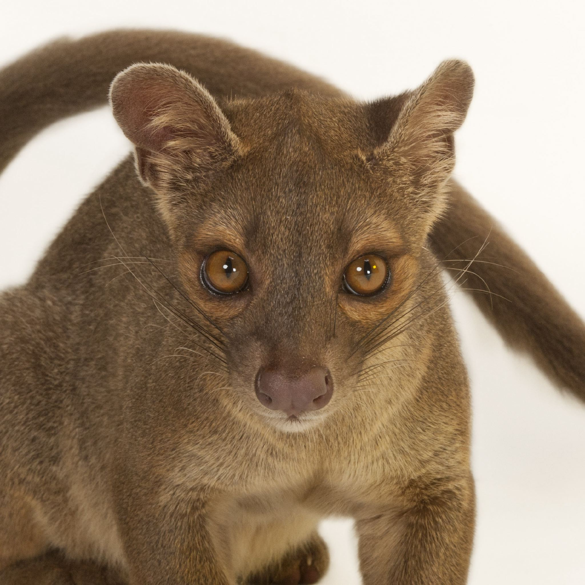 Images of Fossa | 2048x2048