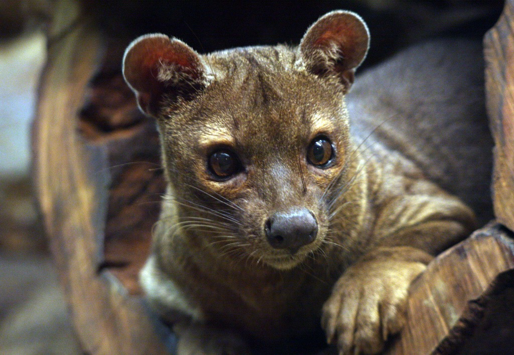 Fossa Pics, Animal Collection