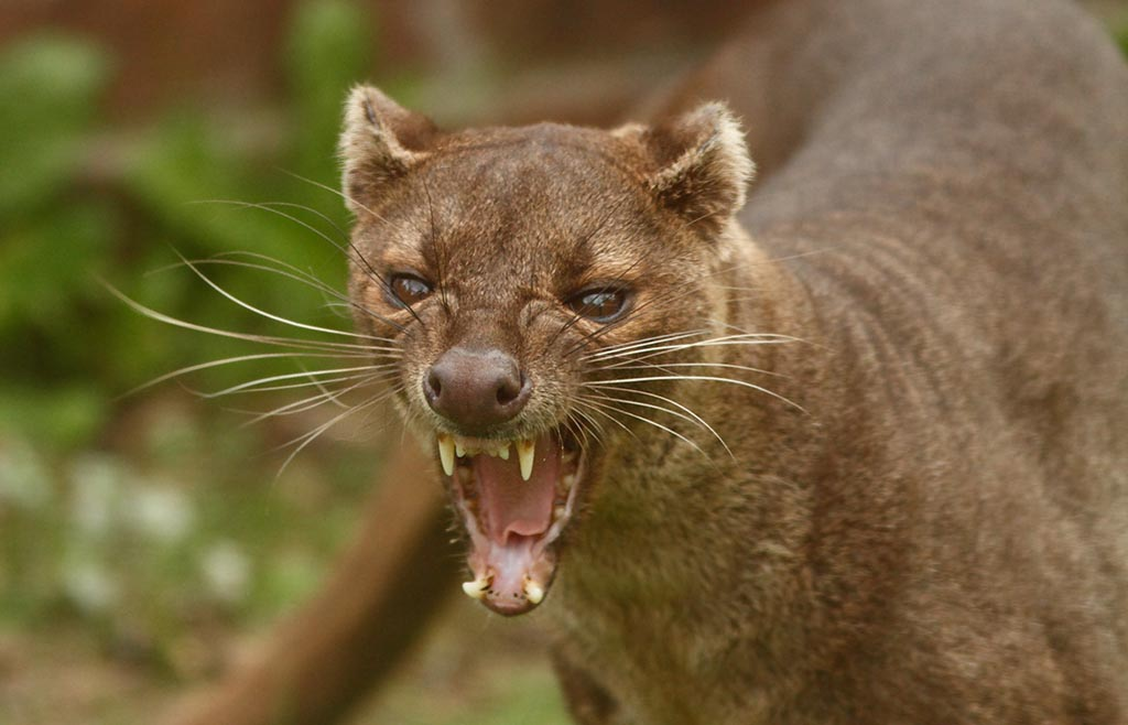 Nice Images Collection: Fossa Desktop Wallpapers