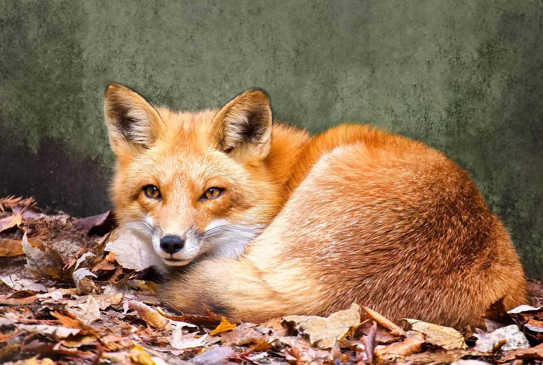 Nice Images Collection: Fox Desktop Wallpapers
