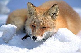 Fox Pics, Animal Collection
