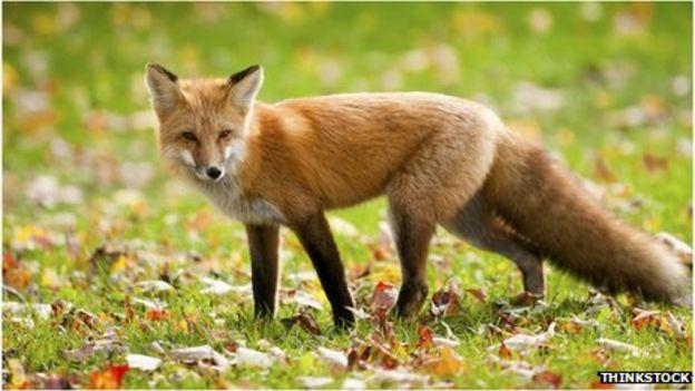 Fox Backgrounds, Compatible - PC, Mobile, Gadgets| 624x351 px