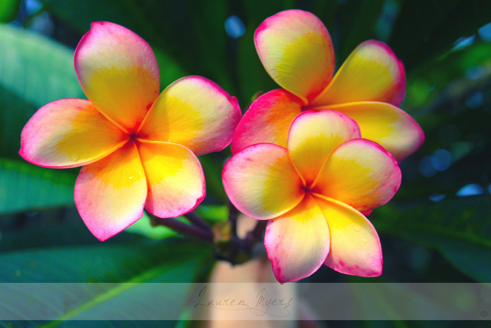 Frangipani HD wallpapers, Desktop wallpaper - most viewed