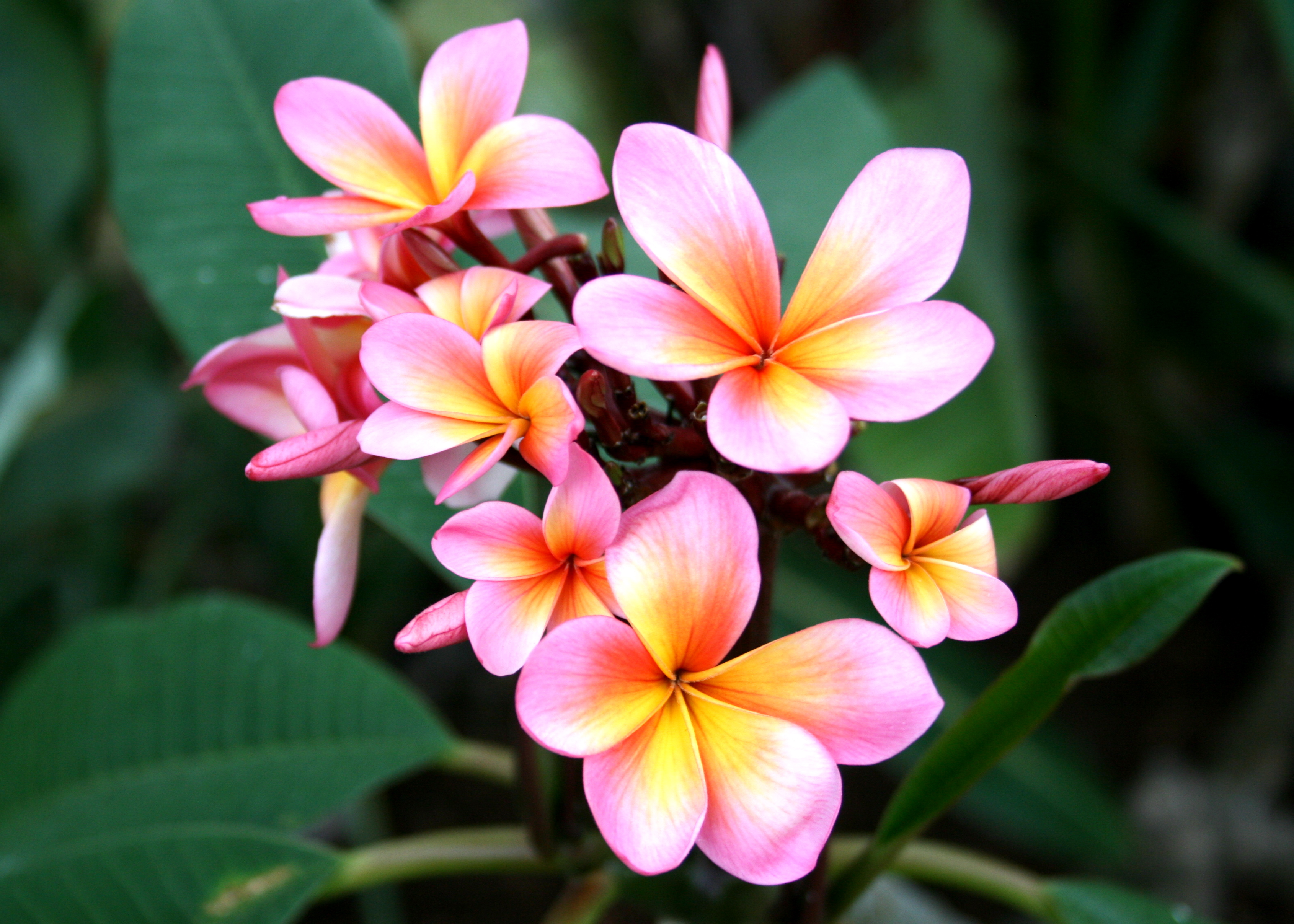 Frangipani High Quality Background on Wallpapers Vista
