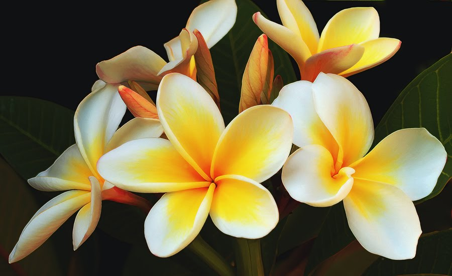 Amazing Frangipani Pictures & Backgrounds