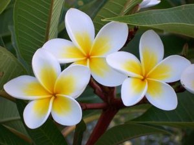 Frangipani Backgrounds on Wallpapers Vista