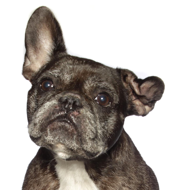 French Bulldog Pics, Animal Collection