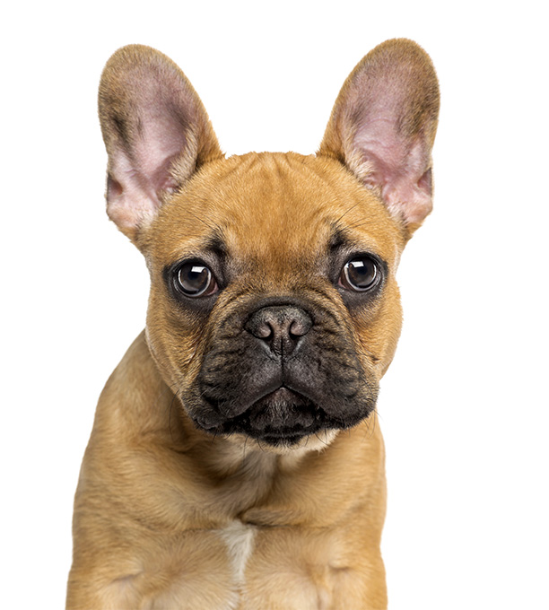 HQ French Bulldog Wallpapers | File 107.18Kb