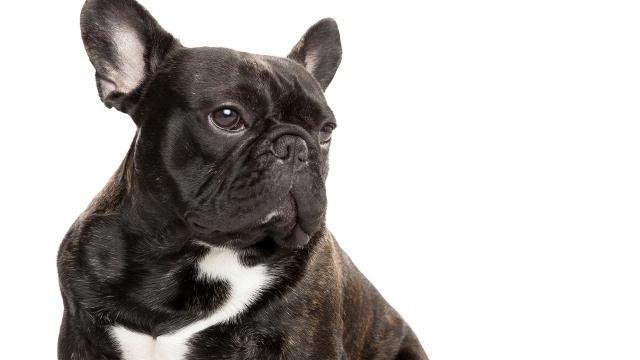 HD Quality Wallpaper | Collection: Animal, 640x360 French Bulldog