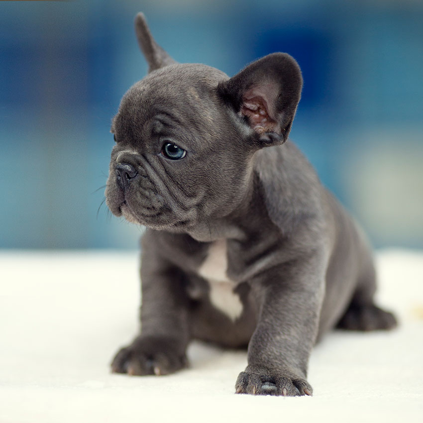 Images of French Bulldog | 850x850