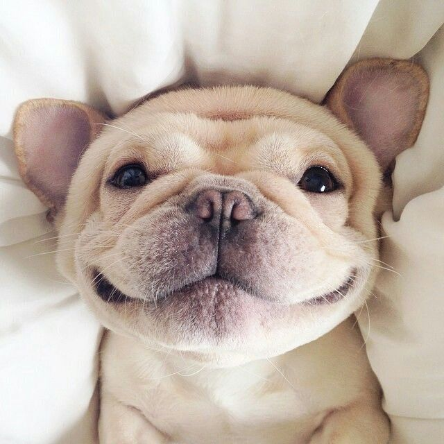 French Bulldog Backgrounds, Compatible - PC, Mobile, Gadgets  640x640 px
