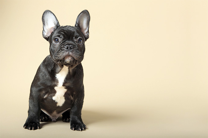 Nice Images Collection: French Bulldog Desktop Wallpapers