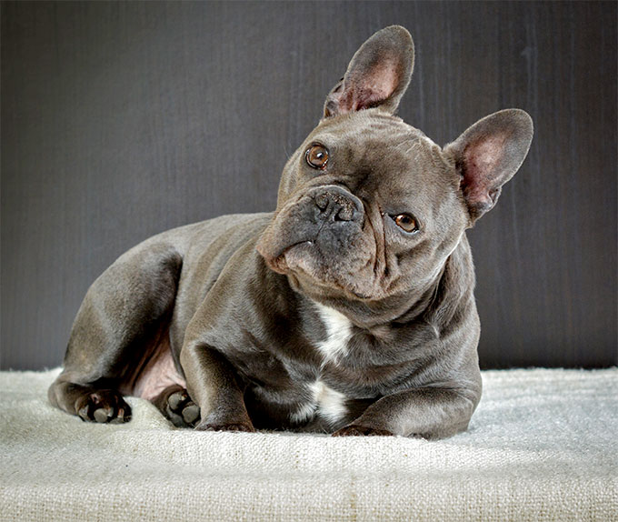 Amazing French Bulldog Pictures & Backgrounds