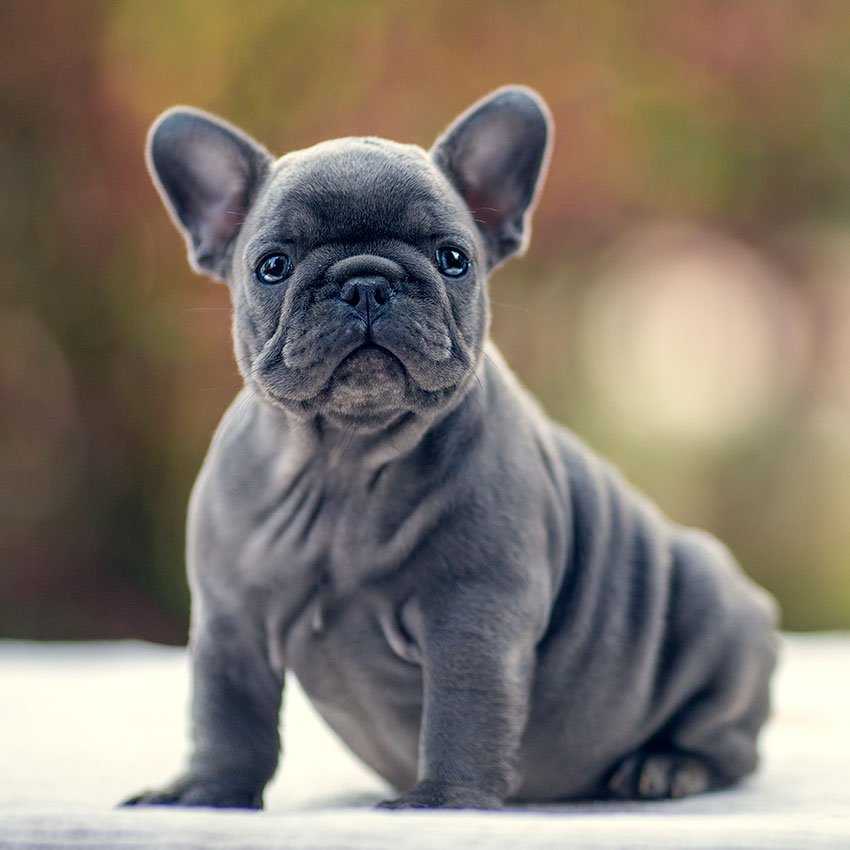 French Bulldog Backgrounds on Wallpapers Vista