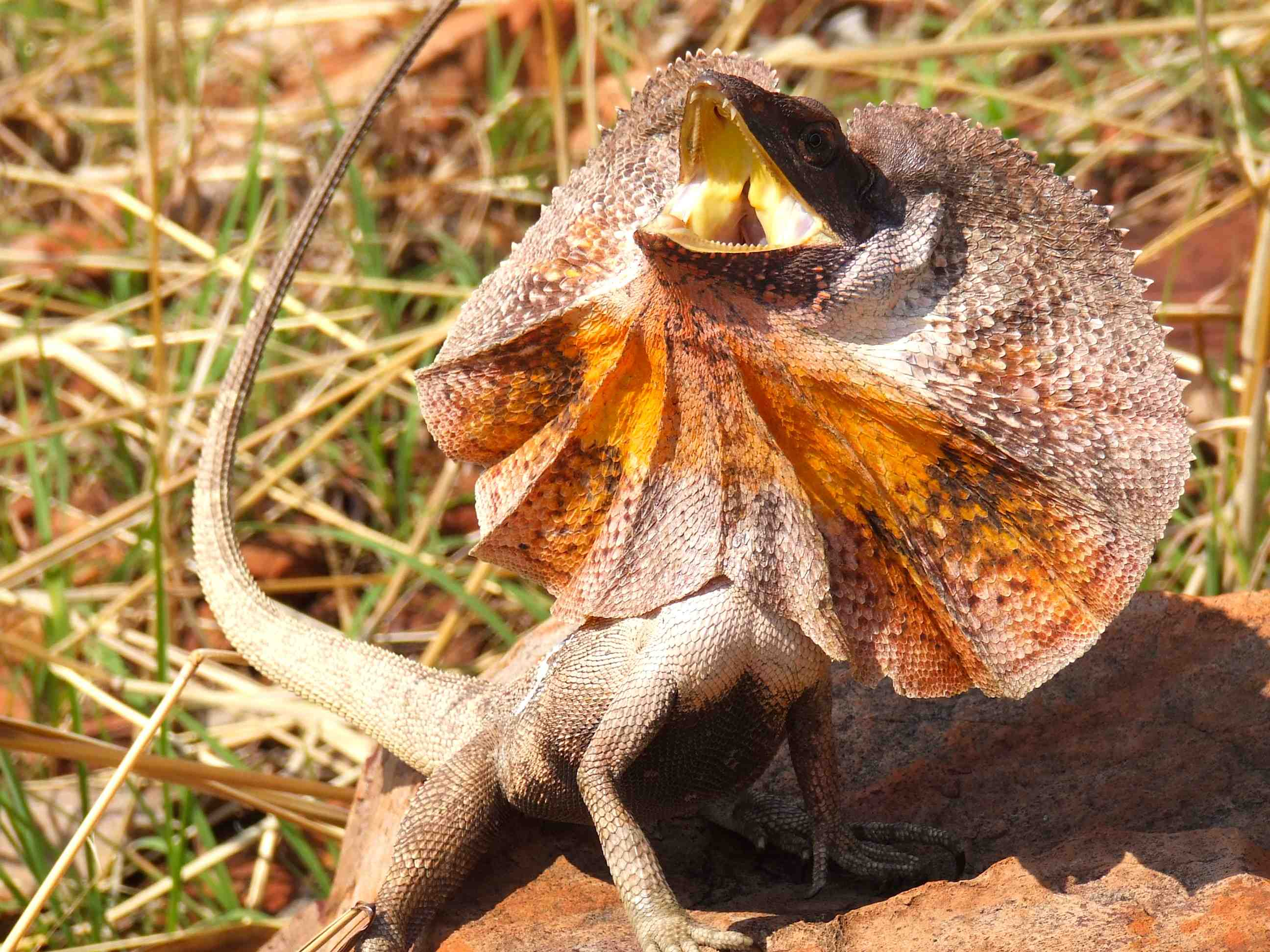 Images of Frilled-neck Lizard | 2592x1944