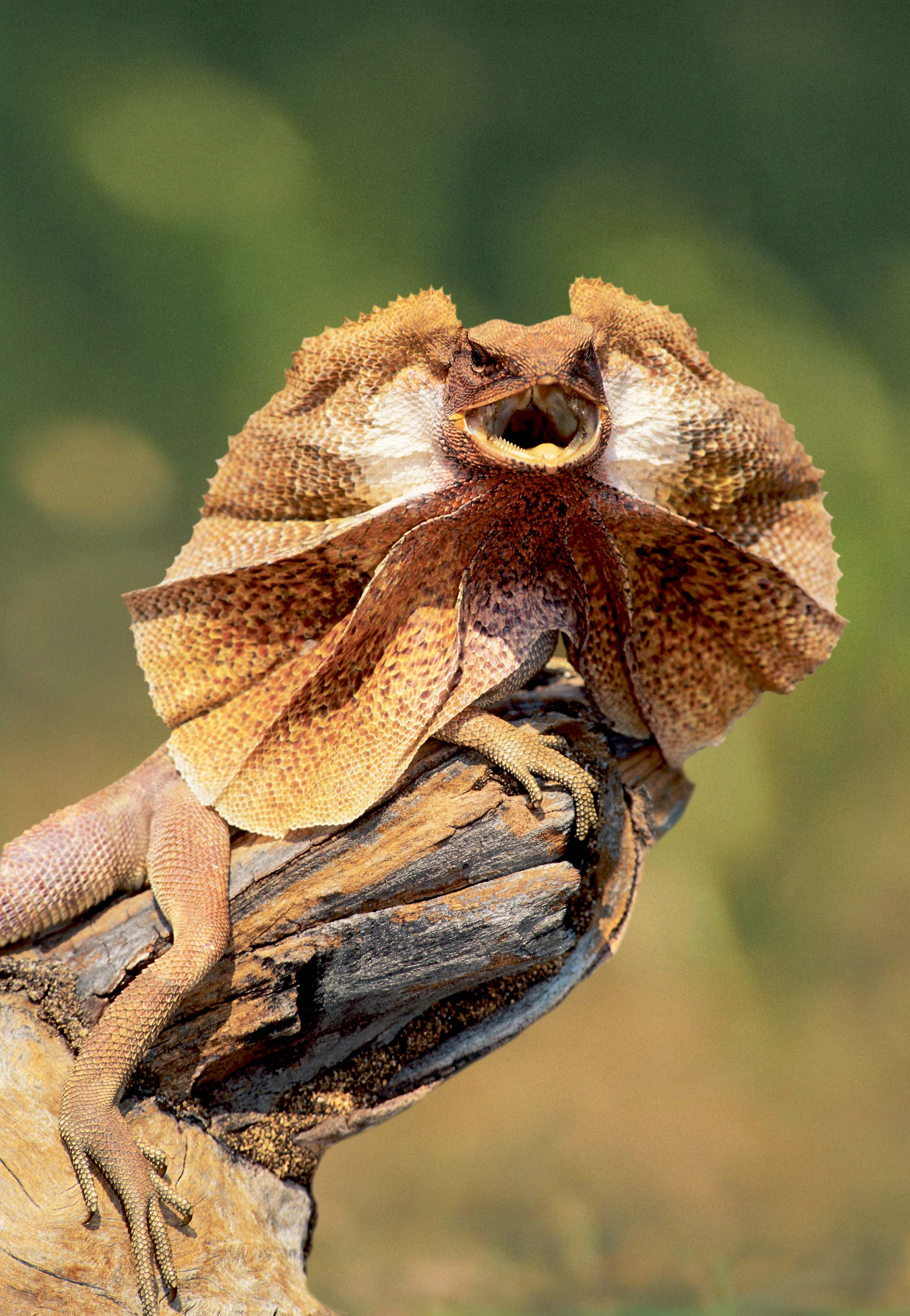 Images of Frilled-neck Lizard | 2451x3543