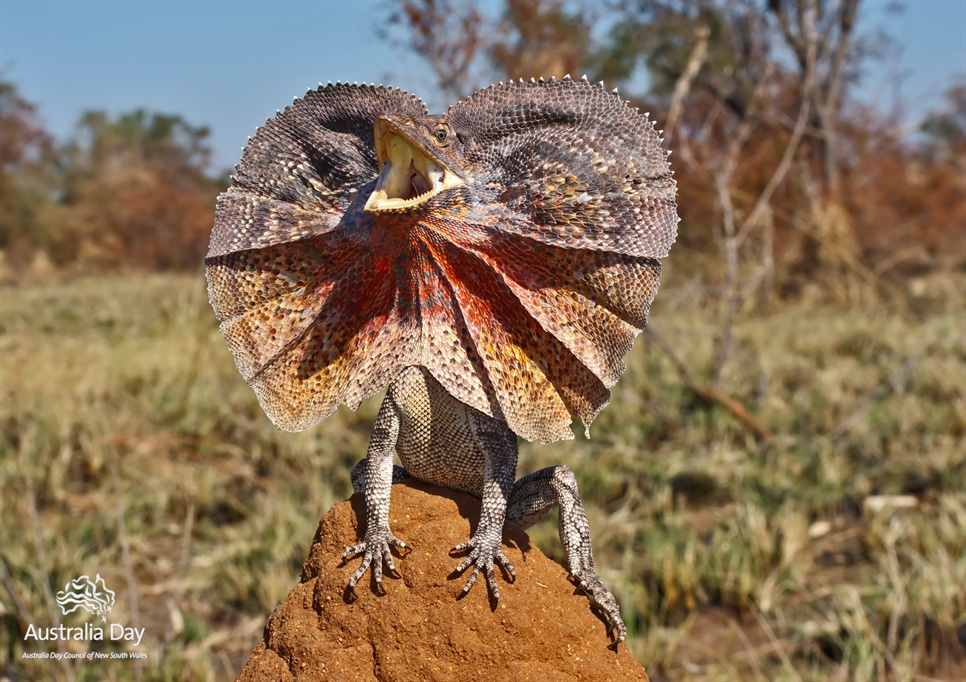 Nice Images Collection: Frilled-neck Lizard Desktop Wallpapers