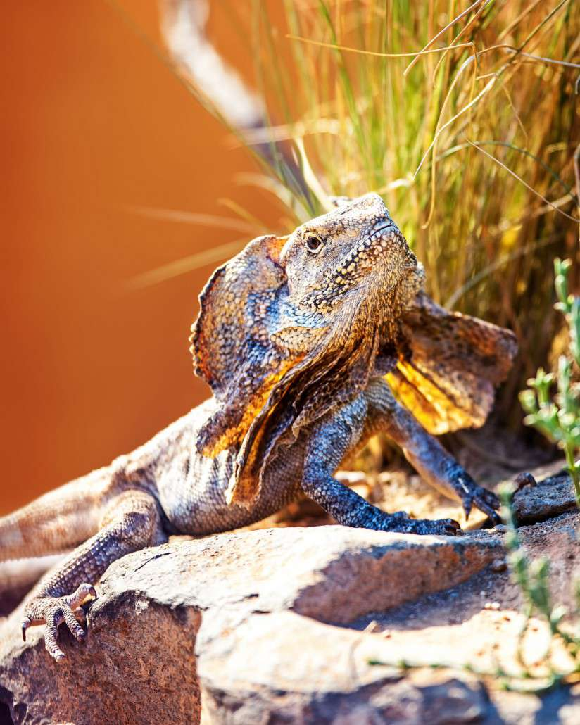 Frilled-neck Lizard Backgrounds, Compatible - PC, Mobile, Gadgets| 824x1030 px