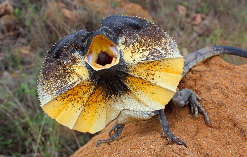 High Resolution Wallpaper | Frilled-neck Lizard 1000x636 px