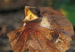 Images of Frilled-neck Lizard | 300x206