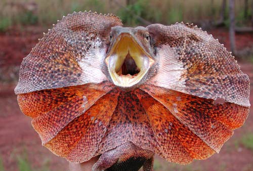 Images of Frilled-neck Lizard | 500x338