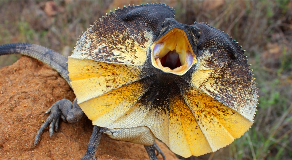 Nice wallpapers Frilled-neck Lizard 1024x560px