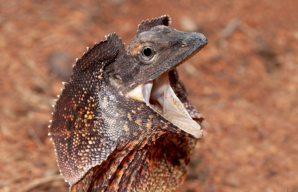 Amazing Frilled-neck Lizard Pictures & Backgrounds