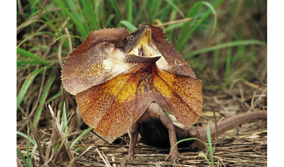 High Resolution Wallpaper | Frilled-neck Lizard 960x564 px
