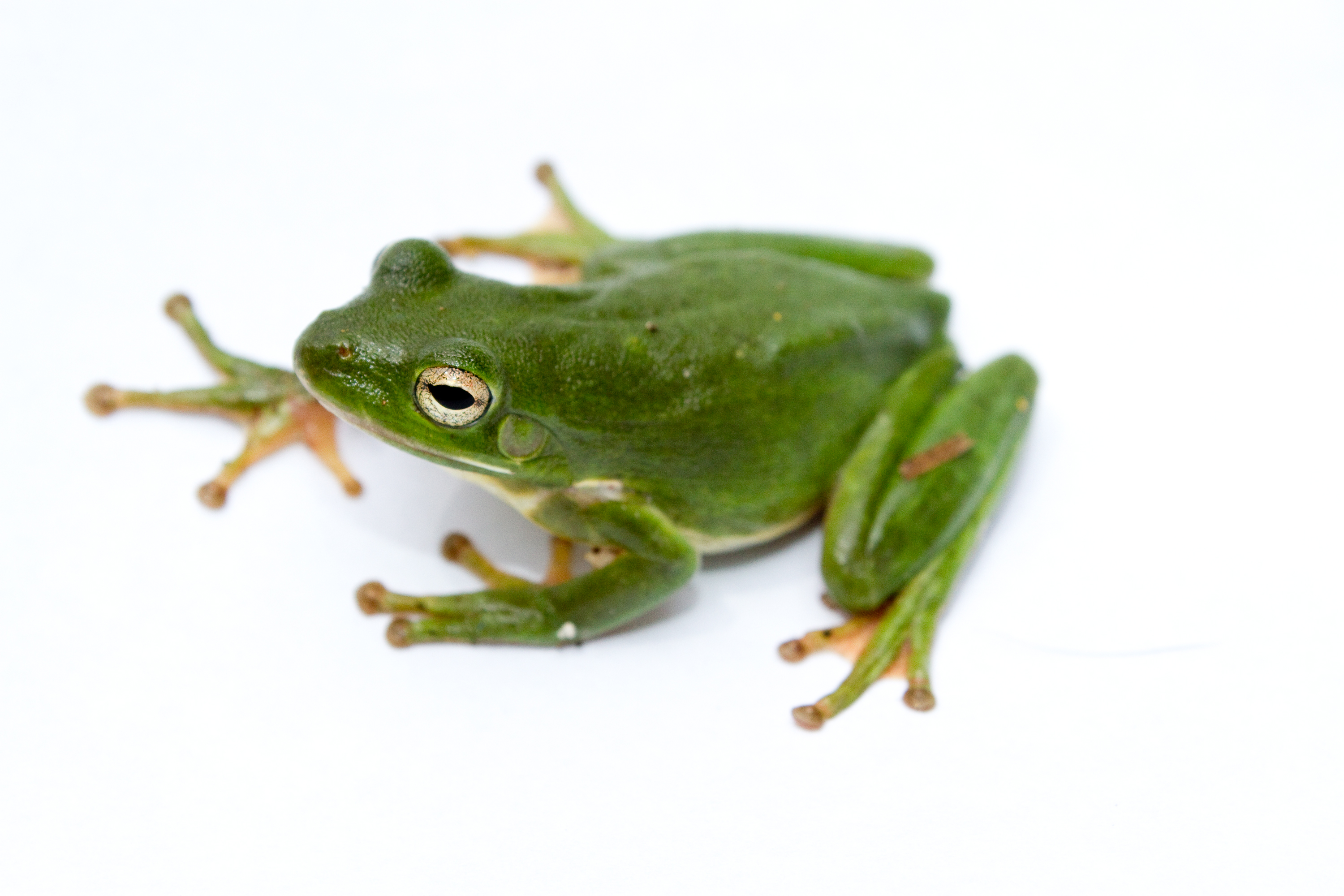 HD Quality Wallpaper | Collection: Animal, 3000x2000 Frog