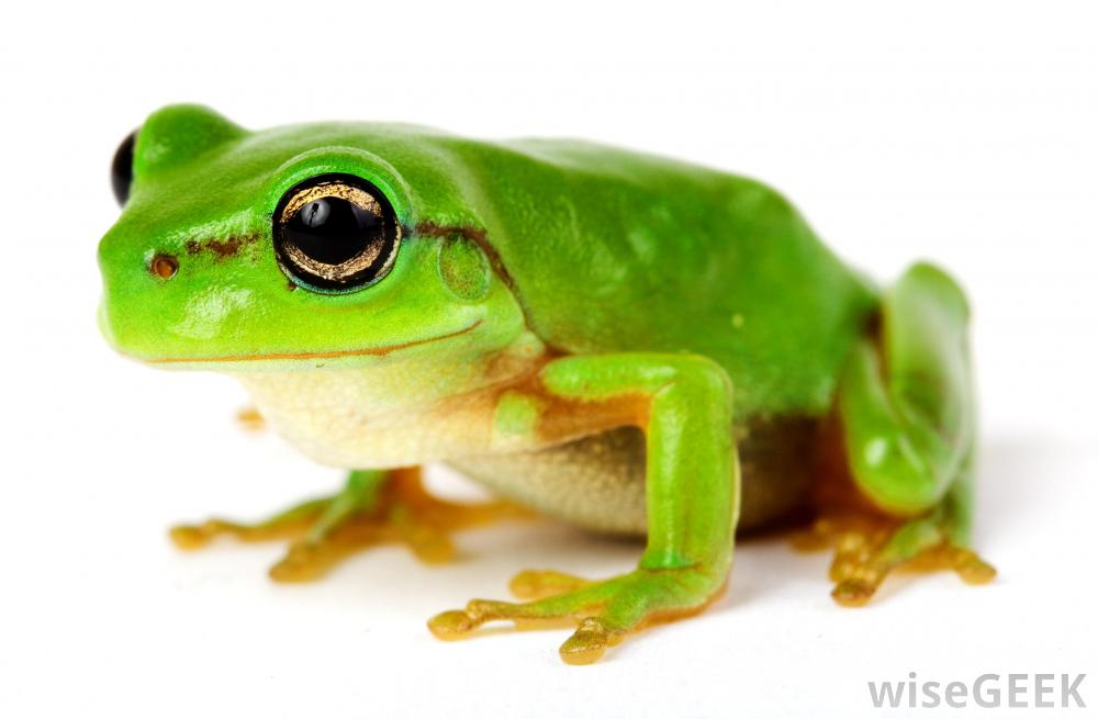 High Resolution Wallpaper | Frog 1000x655 px