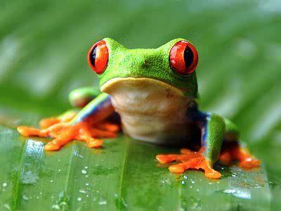 Nice Images Collection: Frog Desktop Wallpapers