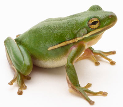 HD Quality Wallpaper | Collection: Animal, 400x349 Frog