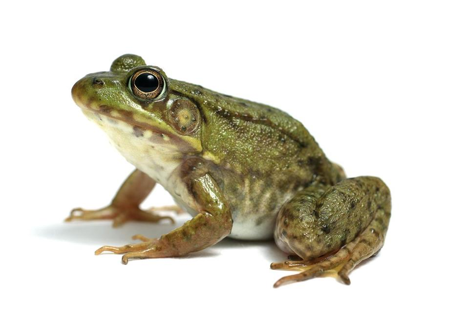 HD Quality Wallpaper | Collection: Animal, 960x640 Frog