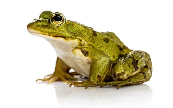 HQ Frog Wallpapers | File 27.57Kb