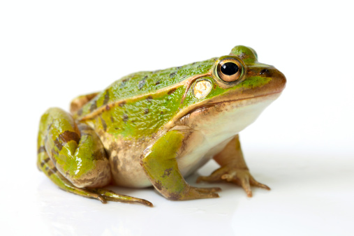 507x338 > Frog Wallpapers