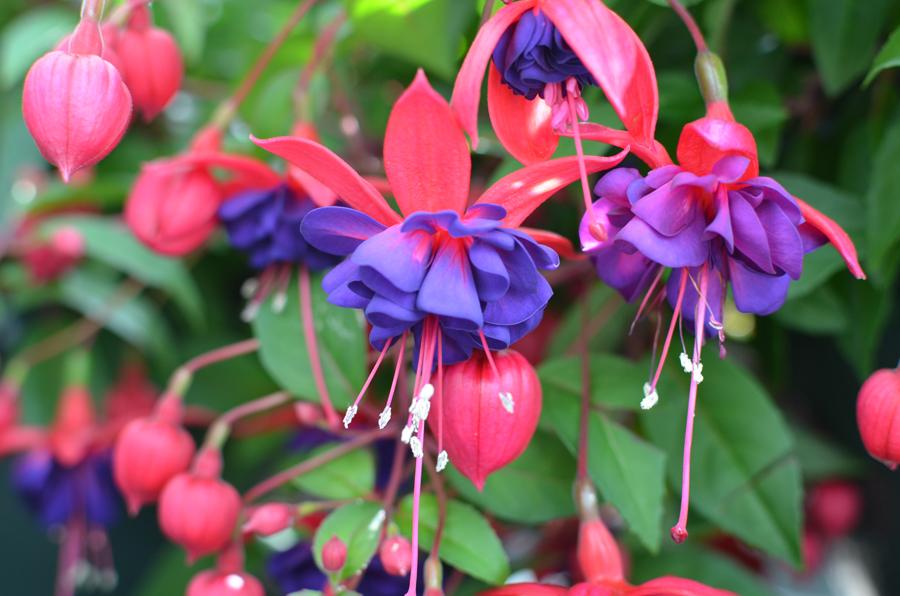 Images of Fuchsia   900x596